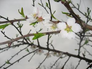 virágzó ág