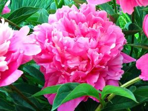 Punkosdi rozsa
